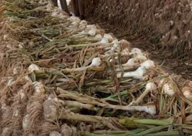 NARC G-1 Garlic Farming in Pakistan